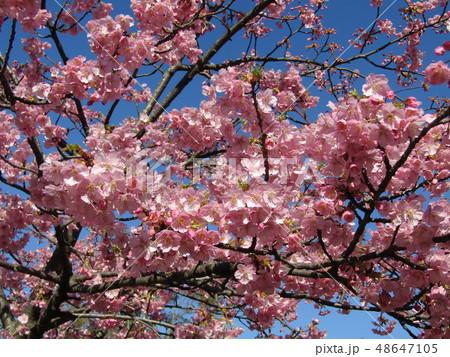 満開の稲毛海岸駅前カワヅザクラの花  48647105