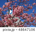 満開の稲毛海岸駅前カワヅザクラの花  48647106