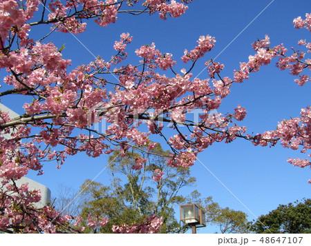 満開の稲毛海岸駅前カワヅザクラの花  48647107