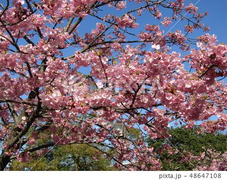 満開の稲毛海岸駅前カワヅザクラの花  48647108