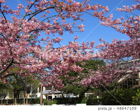 満開の稲毛海岸駅前カワヅザクラの花  48647109