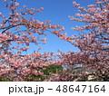 満開の稲毛海岸駅前カワヅザクラの花  48647164