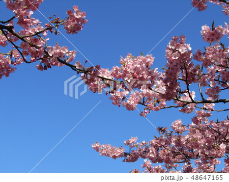 満開の稲毛海岸駅前カワヅザクラの花  48647165