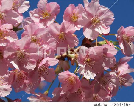 満開の稲毛海岸駅前カワヅザクラの花  48647168