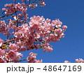 満開の稲毛海岸駅前カワヅザクラの花  48647169