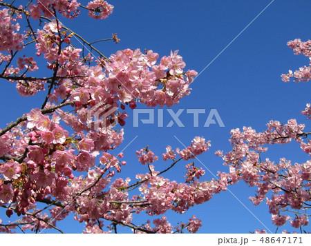 満開の稲毛海岸駅前カワヅザクラの花  48647171