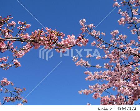 満開の稲毛海岸駅前カワヅザクラの花  48647172
