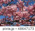 満開の稲毛海岸駅前カワヅザクラの花  48647173