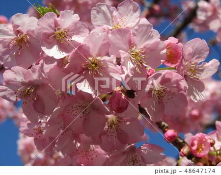 満開の稲毛海岸駅前カワヅザクラの花  48647174