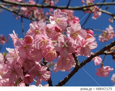 満開の稲毛海岸駅前カワヅザクラの花  48647175