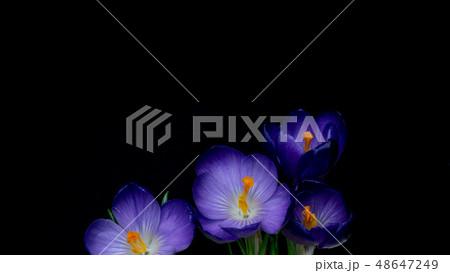 春の花クロッカス 48647249