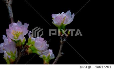 春の花桜 48647264