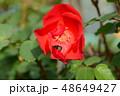 花の中から覗くシマハナアブ 48649427