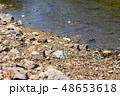 河原で給水する、アオスジアゲハ 2匹 48653618