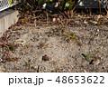 砂地で遊ぶ、スズメ 2羽 48653622