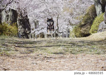 桜と黒柴 48660595