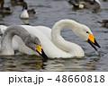 鳥類 鳥 野鳥の写真 48660818