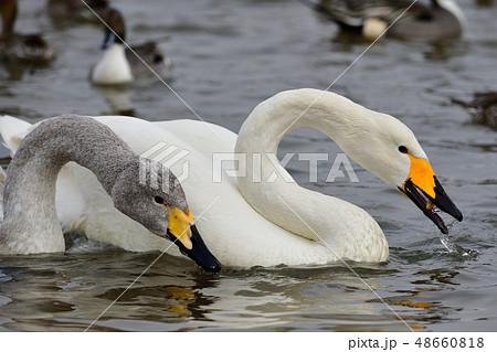 白鳥 48660818