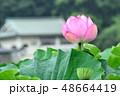 不忍池 蓮の花 蓮の写真 48664419