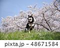 黒柴 桜 柴犬の写真 48671584