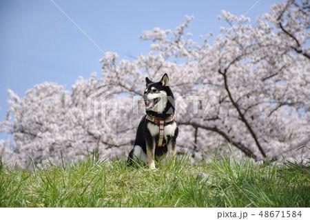 桜と黒柴 48671584
