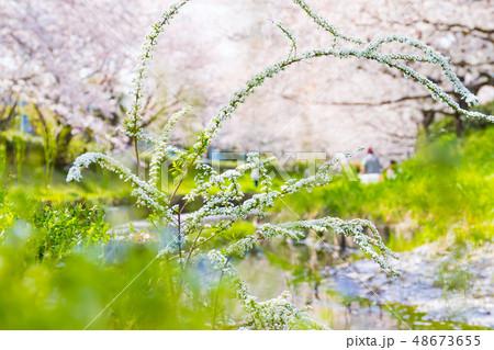 元荒川の桜並木 48673655