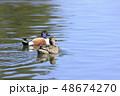 鴨 鳥 泳ぐの写真 48674270