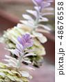 葉牡丹 アブラナ科 植物の写真 48676558