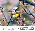 鳥 小鳥 メジロの写真 48677182