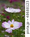 コスモスの花 48688123