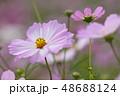 コスモスの花 48688124