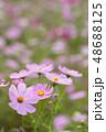 コスモスの花畑 48688125