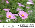 コスモスの花 48688133