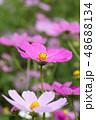 コスモスの花 48688134