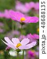 コスモスの花 48688135