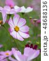 コスモスの花 48688136