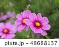 コスモスの花 48688137