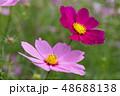 コスモスの花 48688138