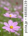 コスモスの花 48688139