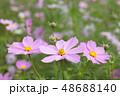 コスモスの花 48688140