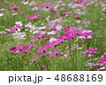 コスモスの花畑 48688169