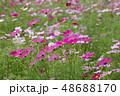 コスモスの花畑 48688170