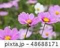 コスモスの花 48688171