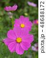 コスモスの花 48688172