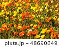 ポピー 満開 花の写真 48690649