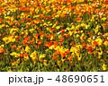ポピー 満開 花の写真 48690651