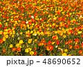 ポピー 満開 花の写真 48690652