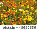 ポピー 満開 花の写真 48690656