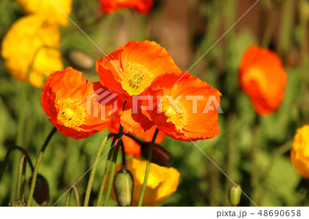 春の陽射しを浴びるオレンジ色のアイスランドポピー(2) 48690658