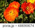 ポピー 花 アイスランドポピーの写真 48690674